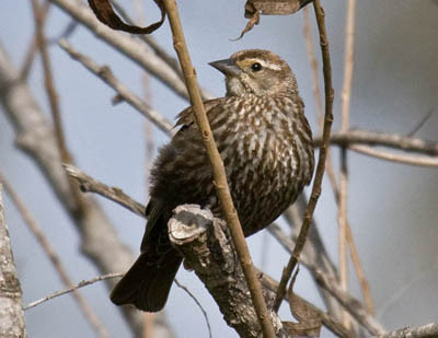 Photo of Red-winged Blackbird in willow