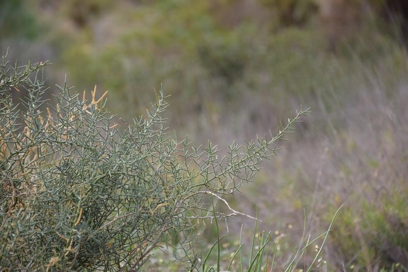 Jaramago (Diplotaxis erucoides)