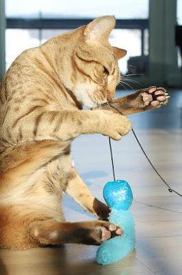 قط اوسي كات : Ocicat