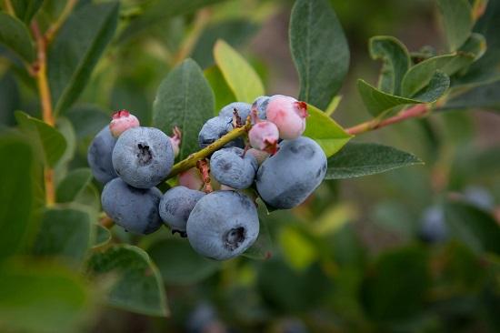 ameriške-borovnice-plodovi