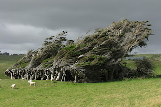 Trees bent over from the wind. Slope Point, New Zealand.