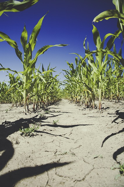 What is GM crop