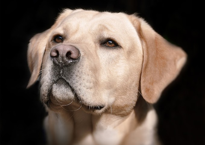English vs American Labrador – What is the difference?