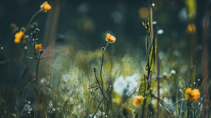 Flores, Amarela, Grama, Prado, Natureza
