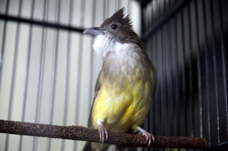 Download Mp3 Suara Burung Cucak Jenggot Gacor