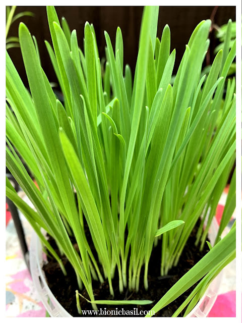 Cat Grass at BBHQ ©BionicBasil® Craft-Fest Day 5