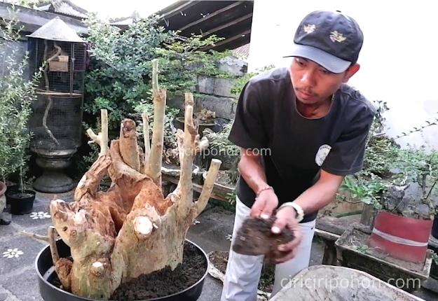 Ciri Ciri Pohon Bonsai Serut