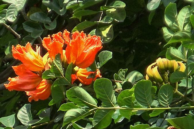 Dlium African tulip tree (Spathodea campanulata)