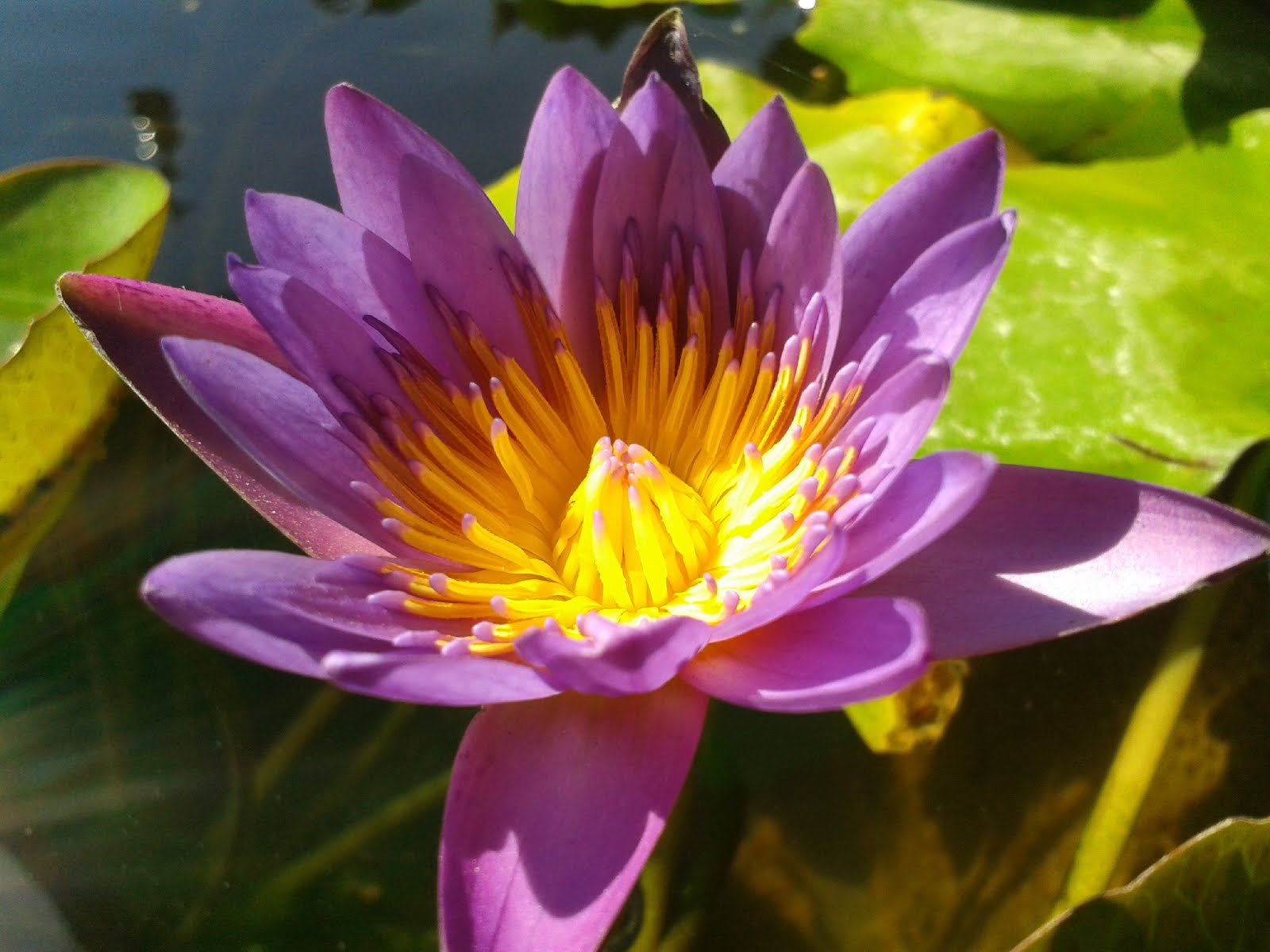 Natural images wallpaper lotus flower images free cover natural top view lotus flower images izmirmasajfo