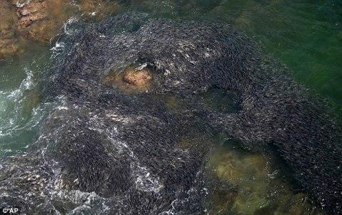 kebesaran allah, gambar pelik, bencana tsunami di jepun, gambar ikan pelik banyak, fenomena ikan pelik di luar pesisiran pantai mexico, subhanallah, ikan banyak sebelum tsunami, ikan pelik sebelum tsunami, fenomena luar biasa sebelum tsunami, gambar menakjubkan sebelum tsunami