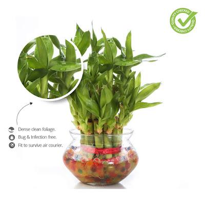 Green Lucky Bamboo