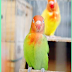 TIPS BETERNAK LOVEBIRD DENGAN MODAL TERBATAS
