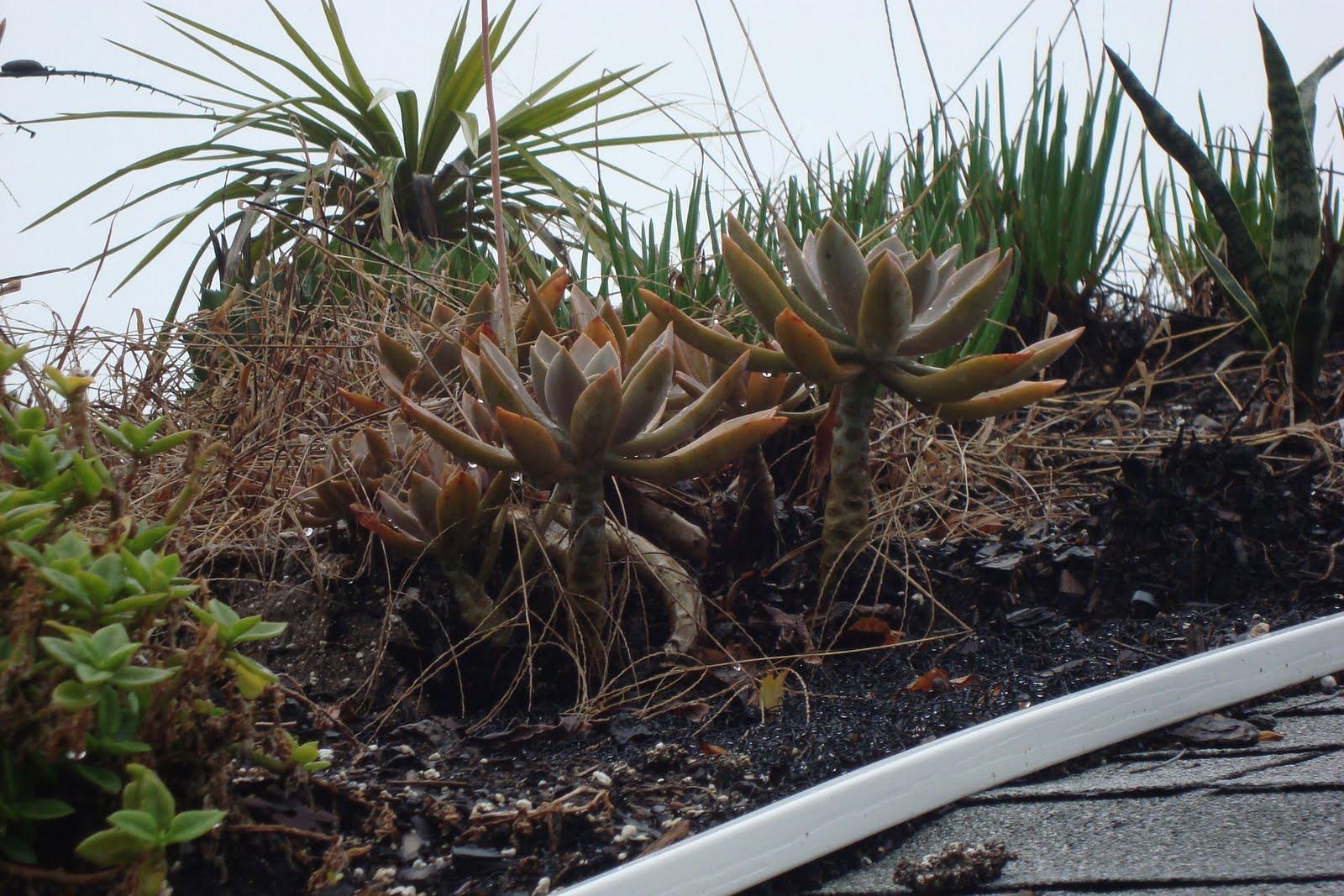Seeds For Green Roofs Green Roof Succulent Graptopetalum