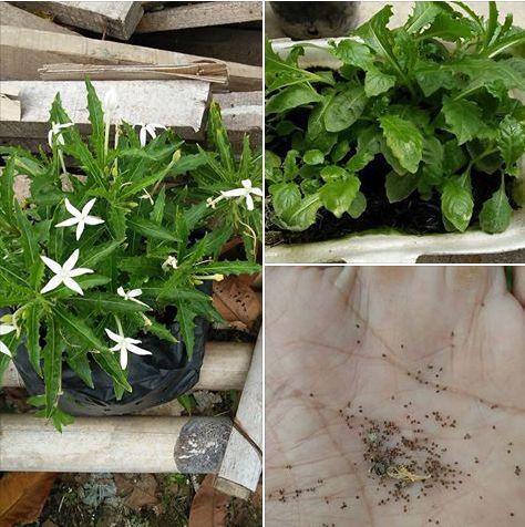 Manfaat Daun dan Bunga Kitolod, Tumbuhan yang dianggap Gulma ternyata Dahsyat manfaatnya