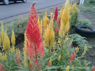 Macam-macam bunga jengger