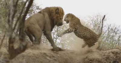 Επική μάχη λιονταριού με λεοπάρδαλη.