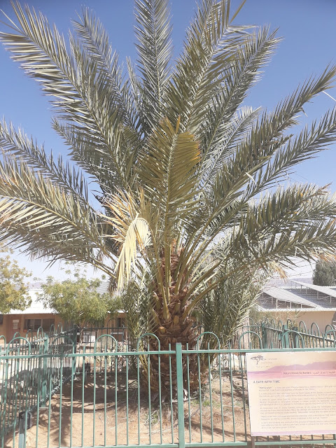 Study sequences genome of extinct date palms germinated from 2,000 year-old seeds