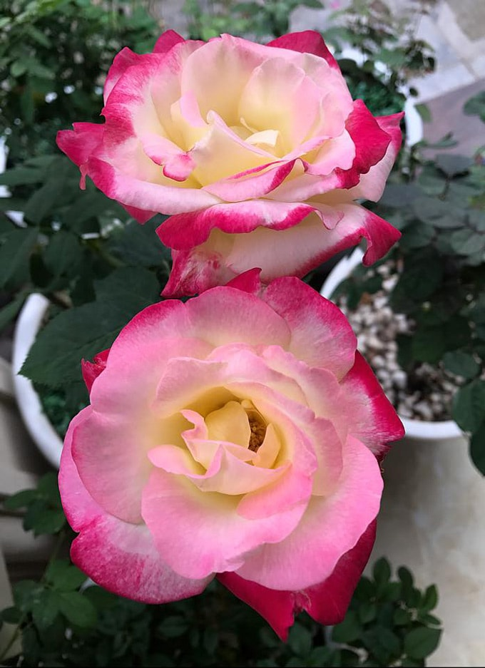 Sân vườn 50 m2 phủ kín hoa hồng của bà mẹ Hòa Bình -6