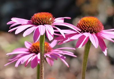 Cultivo da Equinácea - Echinacea purpurea