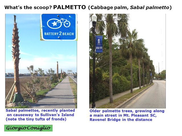 tree; sabal palmetto; cabbafge palm; swamp cabbage; Sabal palmetto; South Carolina; Giorgio Coniglio