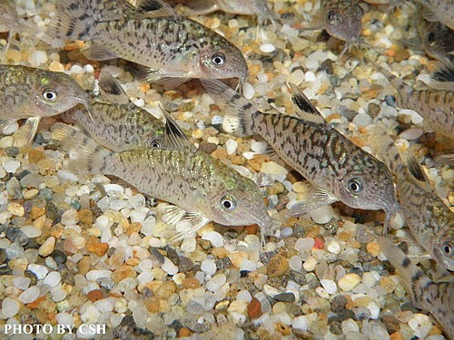 金魚快訊部落格Goldfish message blog: 大花網鼠魚(Corydoars reticulatus)