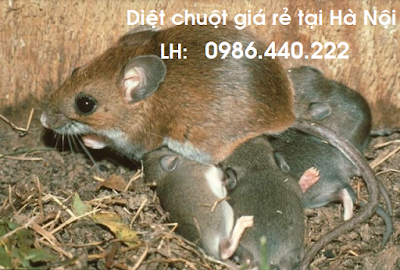 Dịch vụ diệt chuột giá rẻ tại Hà Nội