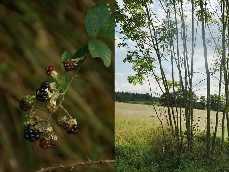 Wald im Spätsommer mit Brombeeren und Sonnenschein