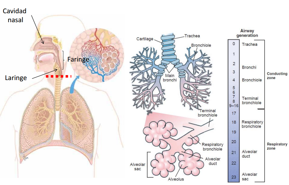 Thug Med Life: Semana 01: Estructura del Sistema Respiratorio