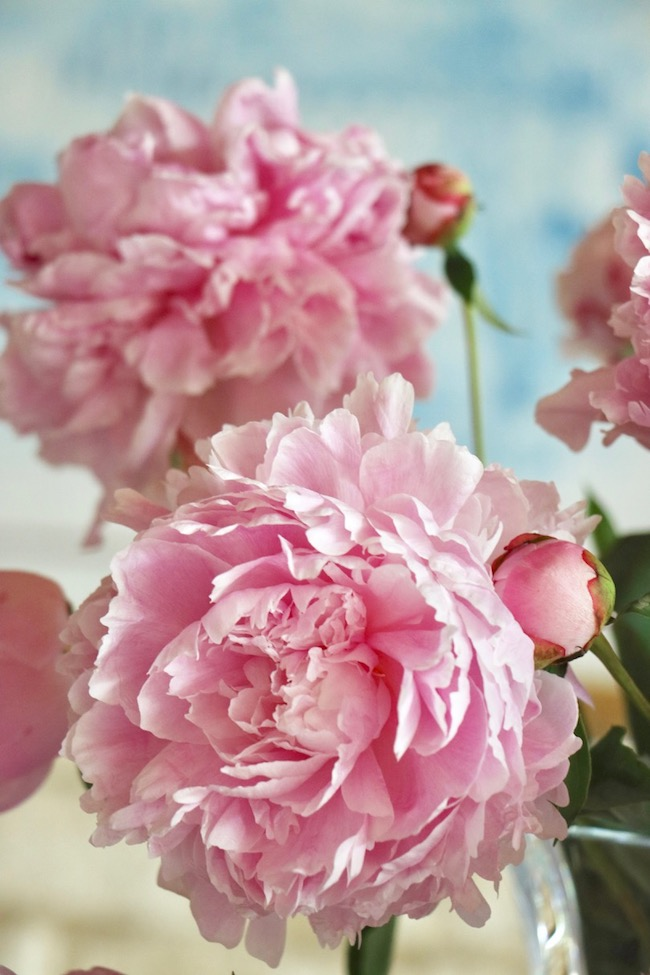 Romantic French country pink peonies could be an Impressionist painting