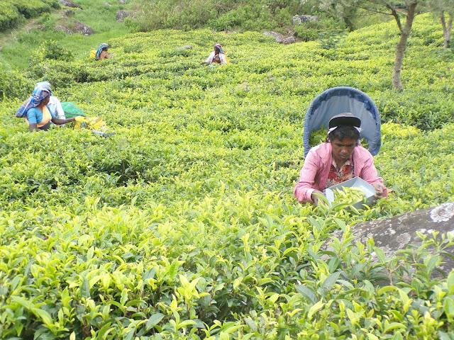 trabajadoras té sri lanka
