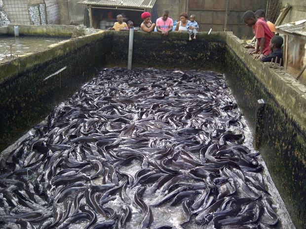 FG Set To Train Women, Youths On Aquaculture