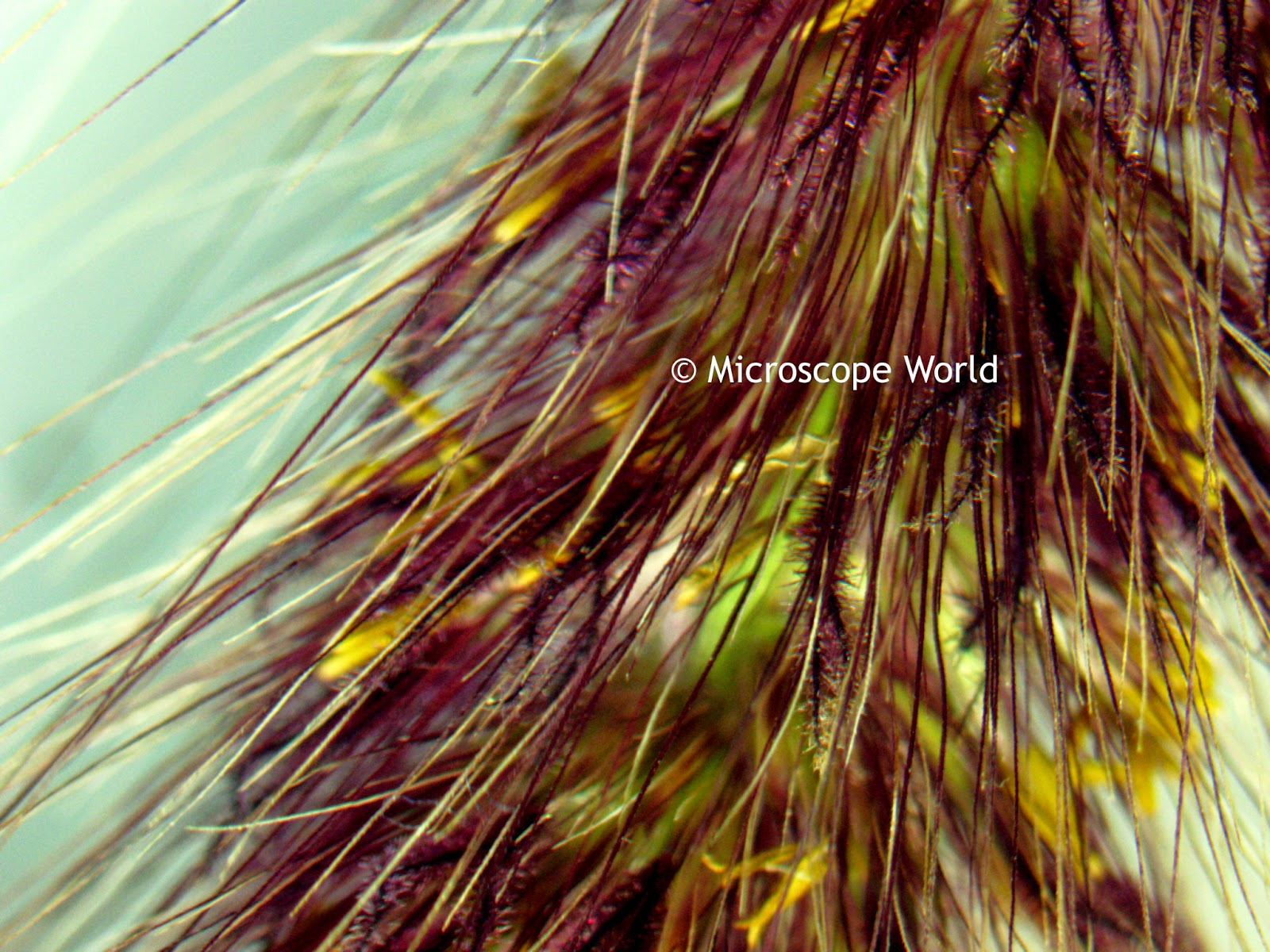 microscope image of cattail