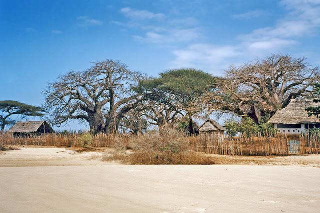 Une plage déserte avec des baobabs dans l'archipel de Lamu