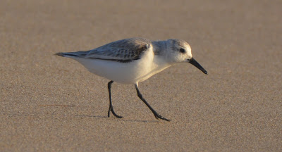 Sanderling at Ajo WTP