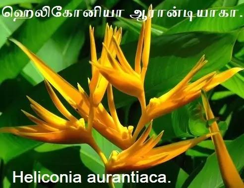 ஹெலிகோனியா ஆரான்டியாகா - Heliconia aurantiaca.