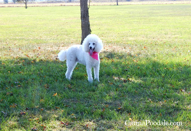 Standard white poodle with pink scarf under a tree