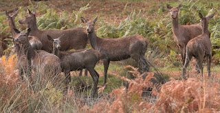 Uneasy Females Agitated by Stags