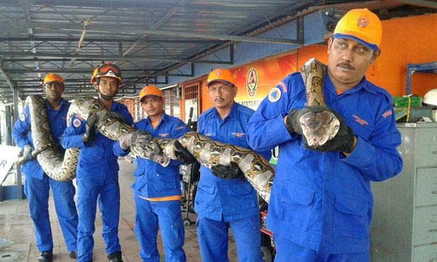 Photos: 28Ft Snake Captured By Malaysian Construction Workers Is The Longest Snake In Written History