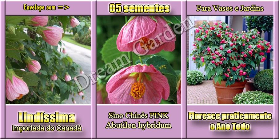 Abutilon Hybridum Pink Sino Chinês Lanterna Chinesa