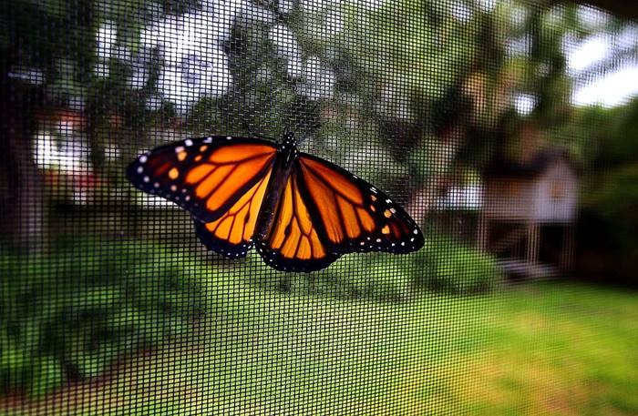 Metamorphose and the birth of monarch butterfly