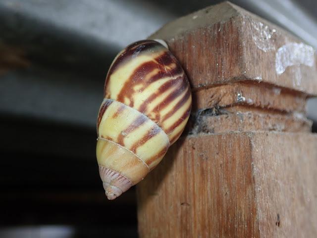 Amphidromus perversus