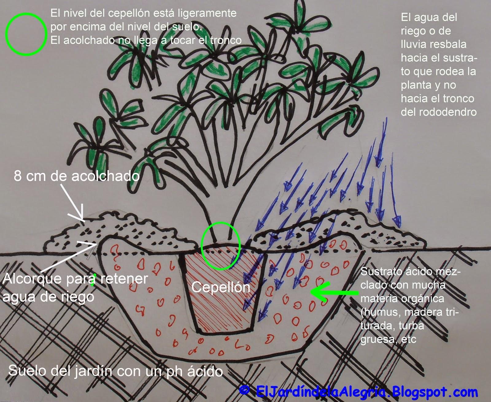 hasta aqu sera el proceso para plantar un rododendro en un jardn con un suelo no arcilloso ni con problemas de compactacin sin problemas de drenaje