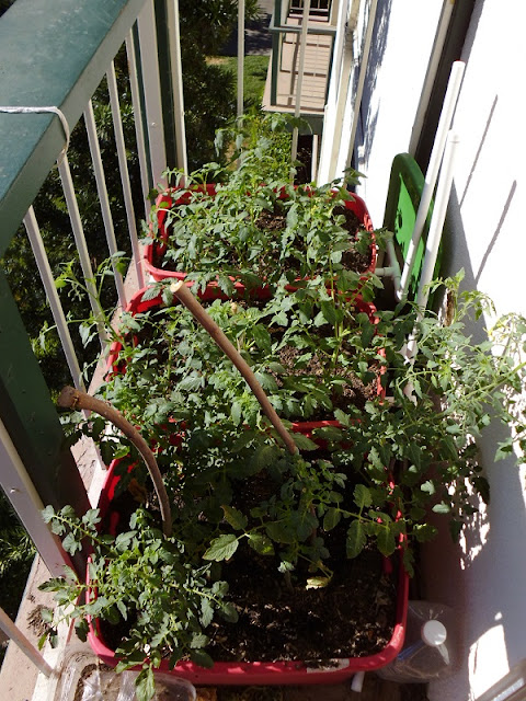All the tomato plants