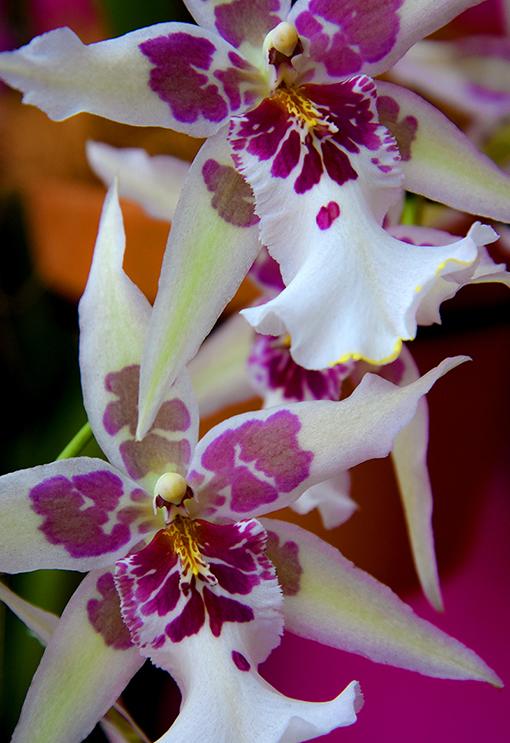 Orchid Daze 2020   Atlanta Botanical Garden   Photo: Travis Swann Taylor