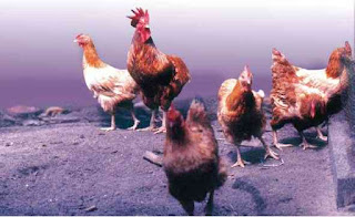 ayam nunukan indonesia