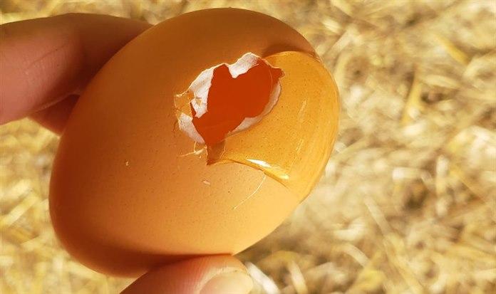 Gurk tavuk neden yumurta yer?