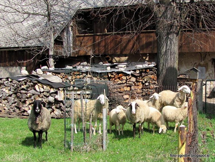 živali, ovce