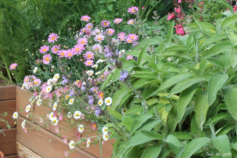 Salvia, margaritas rosa y erigeron