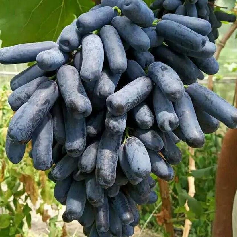 bibit anggur mondrop hasil grafting Cilegon