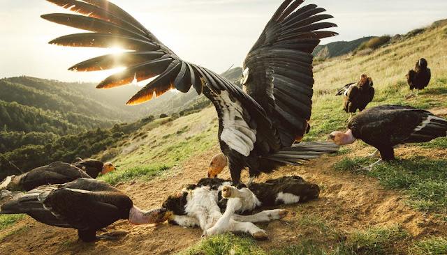 What is the California Condor ? California Condor life Cycle and Condor Population
